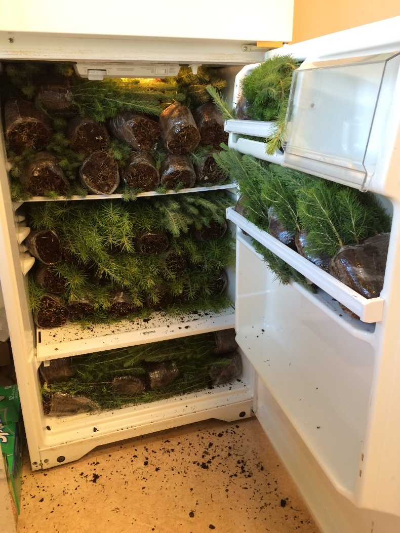 The office fridge packed with seedlings, begin stored for the week before the parade. As funny as this may look, I don't think the office staff was surprised to see something like this as the fridges and freezers are often full of collected beetles and plants