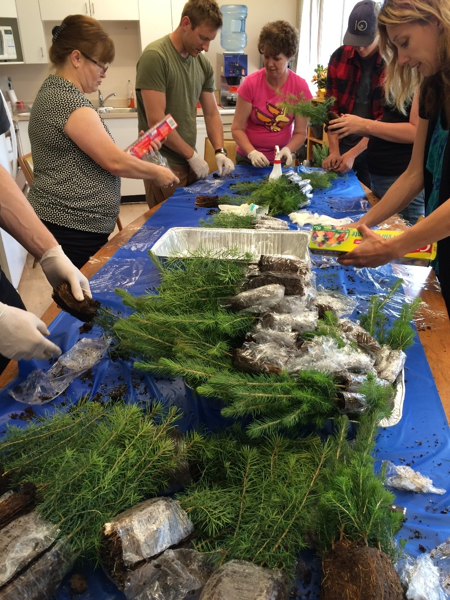 Most people in the office found time on the Thursday before the weekend to help out and wrap our seedlings. Just in this image you can see people from GIS, reception, admin, and summer students. This is one more example of how participating in stampede really brings people together in unexpected ways