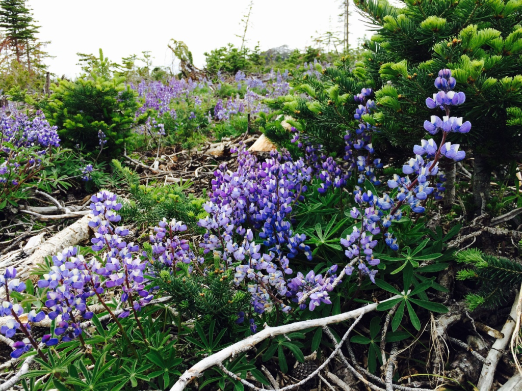 Figure 10. The entire cut block in Dash Creek where our traps are had a bloom of arctic lupines. These flowers were so vibrant, adding to the beauty of the valley.