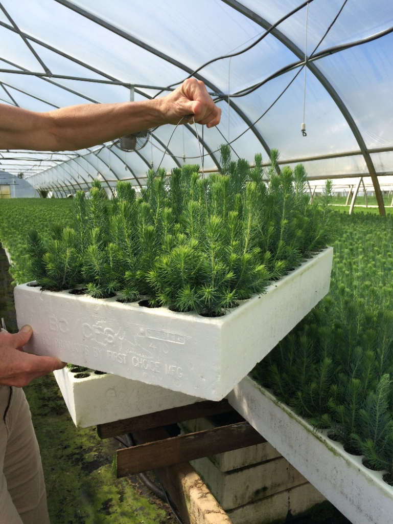 Figure 3. A sample block of trees from each greenhouse is weighed daily to determine maximum efficiency with watering. When this block of trees loses 2kg, it will be watered by the sprinkler system.