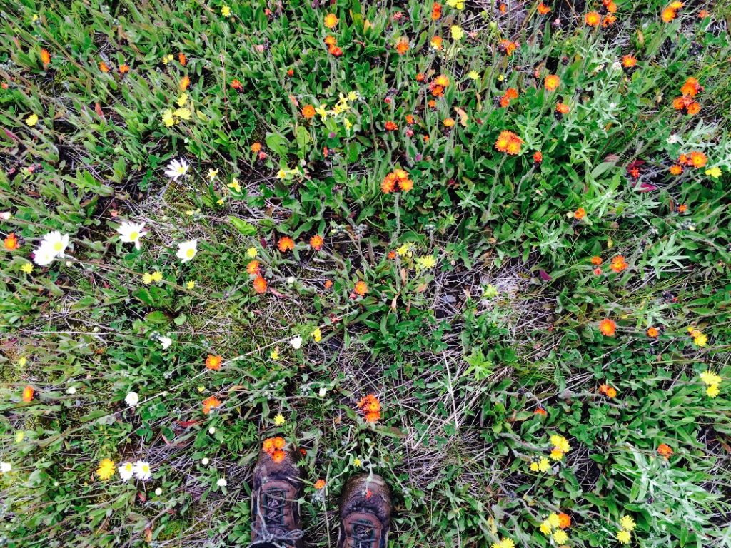 Figure. Some invasive but stunning flowers I encountered (orange and yellow hawkweed and oxeye daisy).