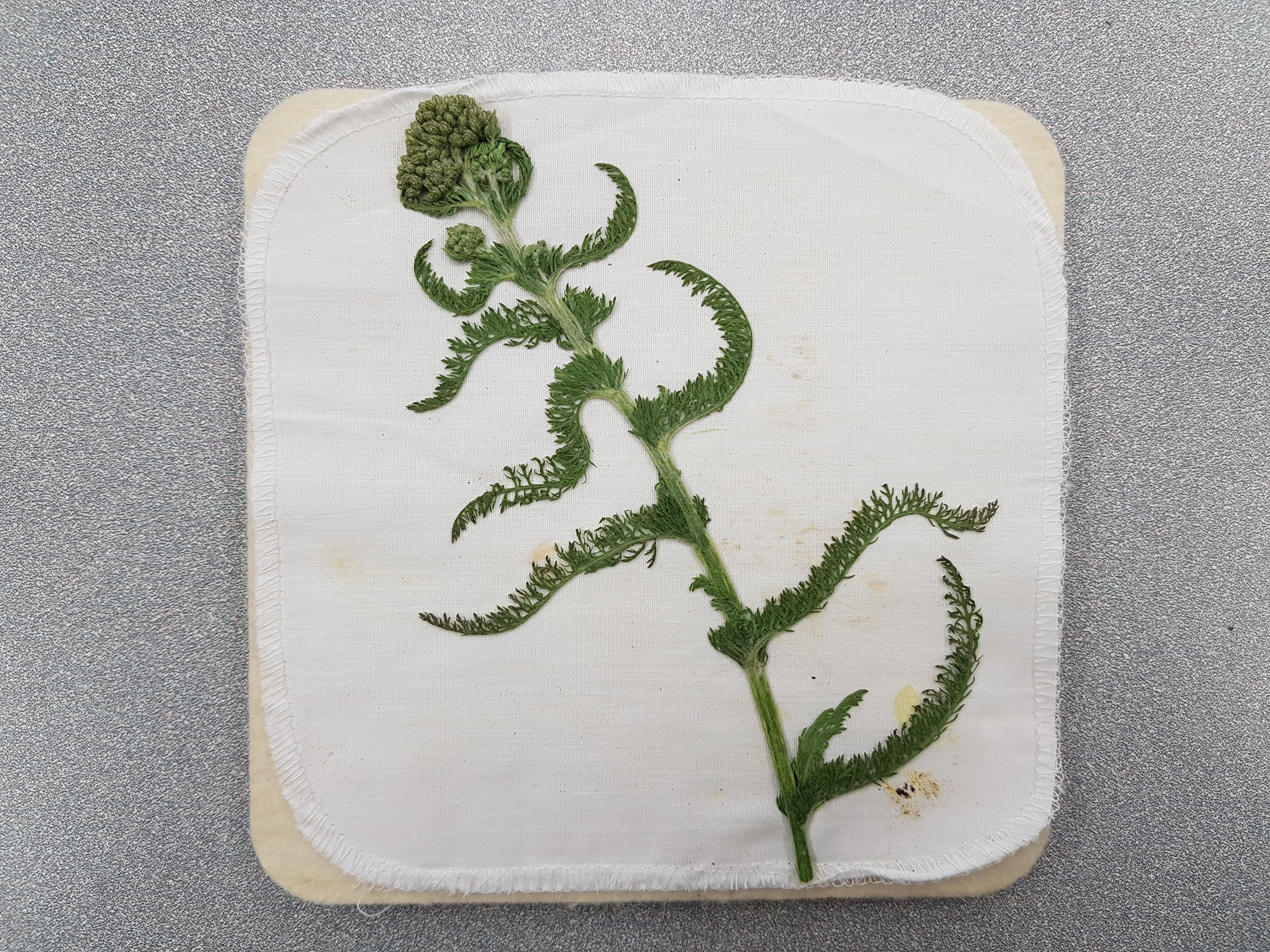 flattend plant