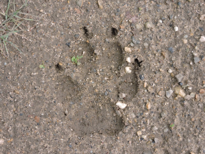 A wolf (Canis lupis) track