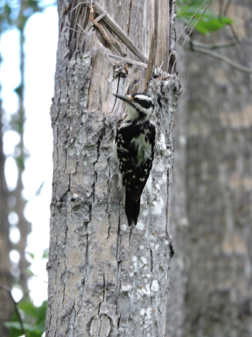 A hairy woodpecker