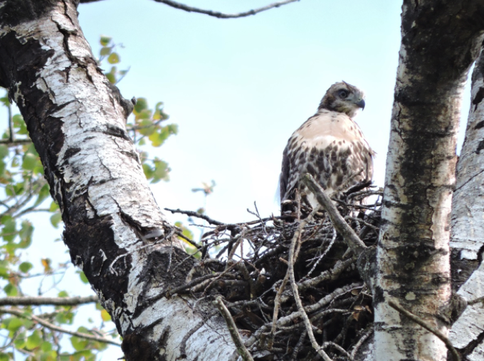 young hawk in nest on tree