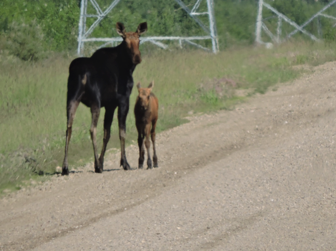 A pair of moose (Alces alces) walk a hauling road