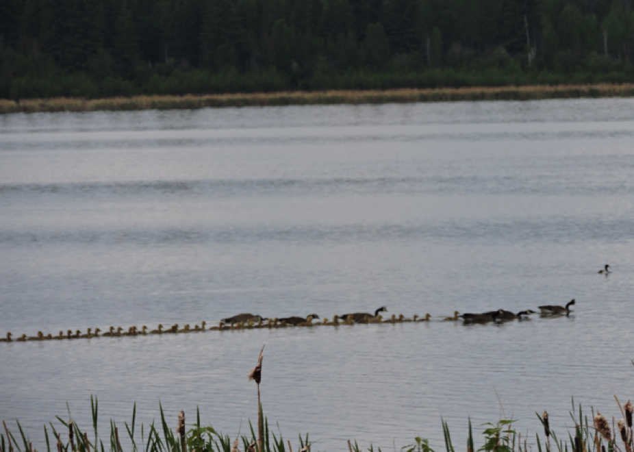 young Canada goose and goslings