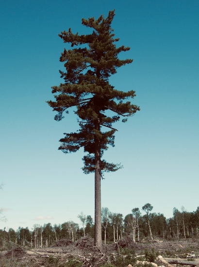 A single white pine tree.