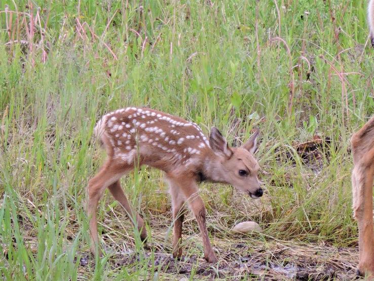 A baby deer walking through the marsh.