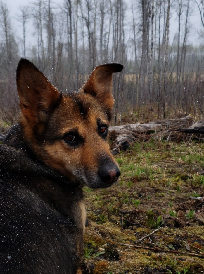 A dog sitting in the woods, while it lightly snows.
