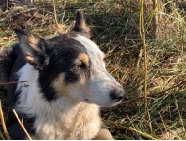 Sid the Border Collie, who helps herd the sheep.